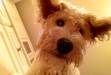 #CooperTheLabradoodle / Pics of our monster dog, Cooper