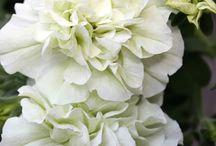 Gardening:  Annuals