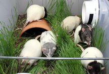 Szczurki klatki