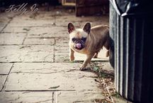 French Bulldogs / Photographs I've taken of these wonderful doggies during my Dog Photography sessions with clients