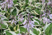 Pæon-bedet / Planter i vores bed