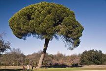 pinos / Especies y variedades de pinos
