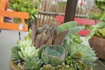 beautiful succulent like kaktus mini