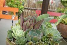 beautiful succulent like kaktus mini