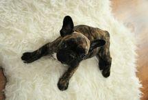 french bulldog / Puppy
