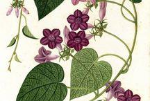 Flora / Dibujos/Pinturas florales