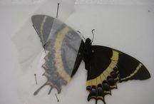 Lepitoptera