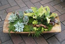 Succulents / Succulents are becoming exceedingly popular.  These easy to care for plants don't need much water and are great conversation pieces.