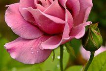 trandafirii de catifea.