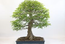 Specimen Bonsai 2015 / Images of our top quality bonsai trees taken in April 2015 just as the bonsai season is springing into life
