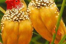 Astrild rákosní - Neochmia ruficauda - Star Finch