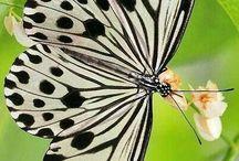 lepke,pillangó