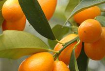 Citrus / All citrus, oranges, lemons, grapefruits...
