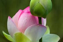 Lotus is Padma / Padma in Sanskrit language means Lotus. Padma is the name of my Jewels, and i love this flower symbol of purity and rebirth
