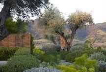 Olives mit Underplanting