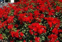 Rosiers à fleurs groupées et massif / Les rosiers à fleurs groupées sont idéals pour une haie fleurie ou sujet isolé. Fleurs d'un pur vermillon brillant sur un beau feuillage vert bronze. Floraison d'une abondance extraordinaire qui se prolonge tard en automne, et même jusqu'au cœur de l'hiver dans les zones méditerranéennes.