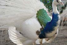 Lovely Things : Peacocks