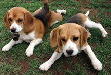 Beagle's