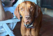 Vizla-Bracco Ungherese-Enzo / il più bel cane