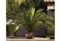 Tropical Outdoor Trees Garden Hardy Exotic Beautiful Phoenix Palms Patio Plants