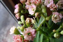 Kalanchoë: perfecte, bloeiende plant voor in de vensterbank