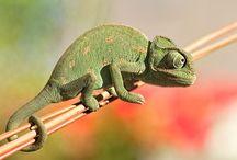 Come-a Chameleon