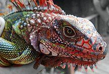 Lizards, Geckos, Iguanas