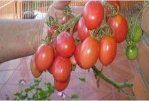 plantio de tomates
