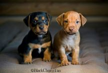 Black & Tan  & Red & Chocolate Terrier / Black & Tan  & Red & Chocolate Terrier