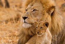 Tatoo lion
