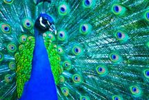 Beautiful Peacocks! / Peacocks have to be the most beautiful bird in all of God's creation! / by Jane McWilliams Moseley