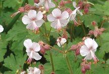 hard geraniums