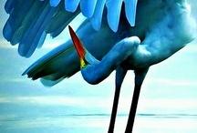 Birds / Egret, Heron, Stork, Crane