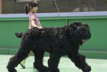 BTR-Black Russian terrier