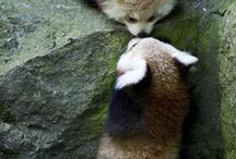 les panda