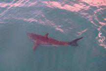 sharks x