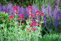 Centranthus Combinations / Plant partnerships that include red valerian or its white-flowered version