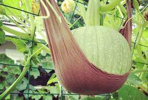 Garden - Pumkin