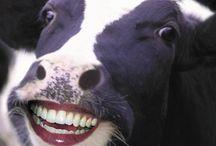pin-cow 丑年なので牛♪ / わたくし、丑年なのです♪