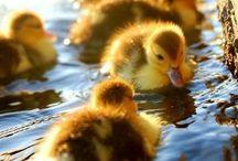 Ducks stuff