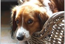 kooiker hondje