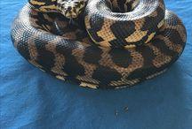 Monty Jungle Python
