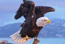 bald eagle photography america