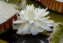 Victoria - Giant waterlily