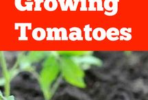 Tomater odling