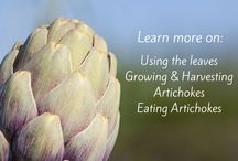 Globe Artichoke / Harvesting, growing, eating and benefits of Globe Artichoke