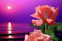 rózsásdeku