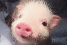 Piggey!! :3