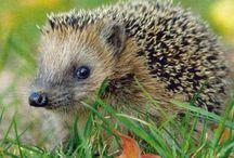 Riccio- Hedgehog