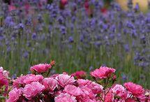 Rózsák/Roses